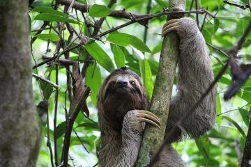 costa-rica-sloth-three-finger-jungle_menu